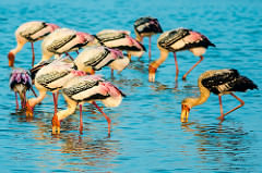 Flamingos at Pulicat Lake