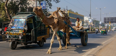 Camel on the Indian roads