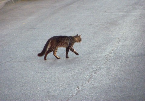 Cat crossing the road