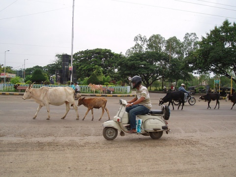 Cows on the Indian road